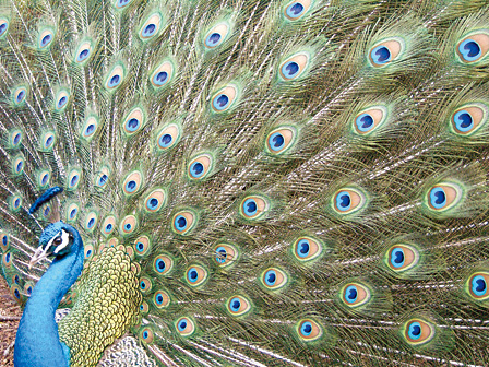 5p.m. last light for capturing this peacock's incredible fan of green, blue and pink...