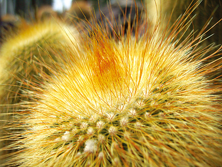 To the naked eye, the needles of a cactus look like soft hair...